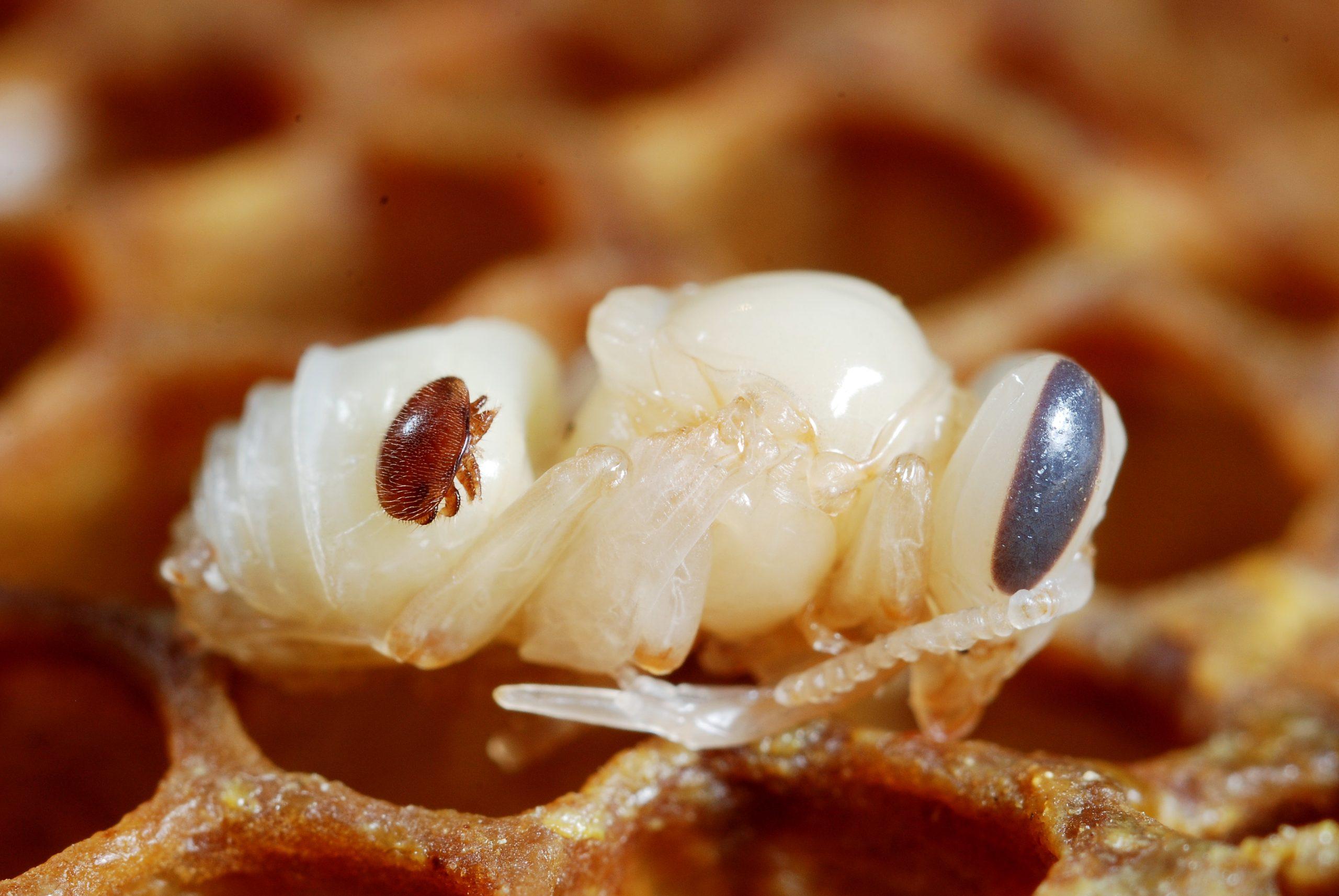 <em>Varroa destructor<em> on the body of its host : a honeybee (<em>Apis mellifera<em>).