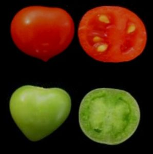Tomatoes lacking ARF2A (bottom) fail to ripen. Credit: 10.1371/journal.pgen.1005903.g002