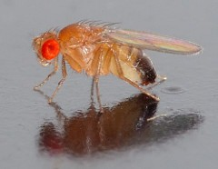 Figure 1. Fruit fly. Image Credit: André Karwath, Flickr, CC BY