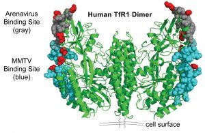 Amino acids marked in red track virus binding sites on TfR1 (blue, grey) DOI: 10.1371/journal.pbio.1001571