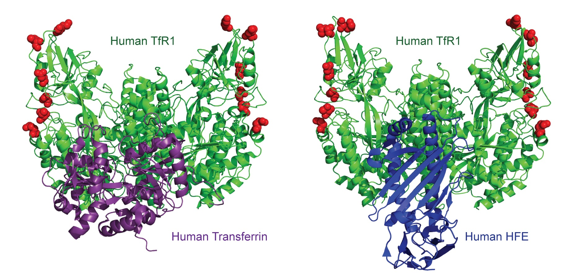 TfR1 can carry on binding transferrin and HFE while dodging viruses. DOI: 10.1371/journal.pbio.1001571