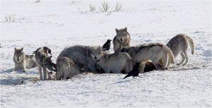 Image credit: Daniel Stahler/National Park Service (NPS) journal.pbio.1002025.g001