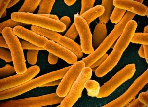 E. coli, shown here, were pitched against P. aeruginosa in a battle for QS supremacy. Image credit: Niaid