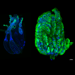 Figure 2: Compared to control (left) ovary, c-Fos-overexpressing ovary is much larger due to retention of eggs that have maturation arrest (shown by persistent Green/Vasa expression). Scale bar is 100 micrometer. Image Credit: Jonathon D. Klein and Victoria Frohlich.