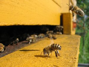 Honey bees at a hive entrance. Image credit: Warden, Wikimedia Commons