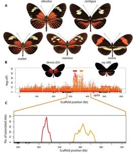"""Varieties of Heliconius with and without the red """"dennis"""" patch and rays allowed the genetic mapping of regulatory modules that give rise to them (doi:10.1371/journal.pbio.1002353.g002)"""