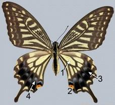 Papilio xuthus (DOI: 10.1186/s40851-015-0015-2)
