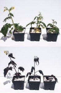 Turning purple. Targeted engineering of normal tomato plants to make extra anthocyanins (bottom). Credit: 10.1186/s13059-015-0796-9