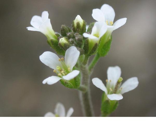 Arabidopsis flowers