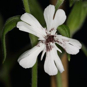 The anther smut fungus Micobrotryum lychnidis-dioicae infects White Campion. Image credit: Martin C. Fischer